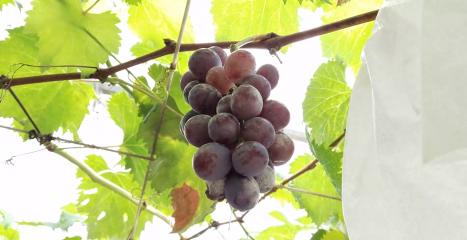 旅行影片 #3: 马来西亚 霹雳 務邊 水果山之葡萄園找好吃的